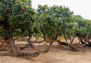 Sakız Ağacını hangi hastalıklara iyi geliyor